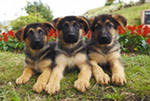 German Shepherd Training 7 Golden Rules  GSC  The Best