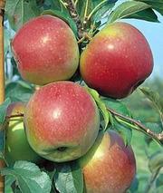 Саженцы яблони Лигол (Польша)