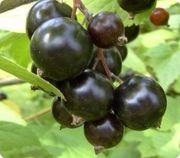 Черная смородина лучшие сорта,  саженцы из Европы оптом и в розницу.