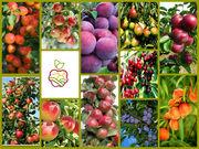 «Саженцы плодовых культур из Европы яблоня,  груша,  слива,  вишня