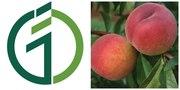 Саженцы персика «Инка».