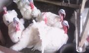 Продам индюков,  белая широкогрудая,  1 год,  привитые.