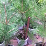 Сосна черная крымская 100-150 см