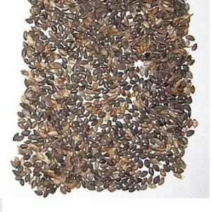 семена сосны обыкновенная сосна