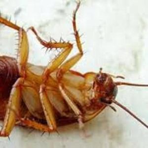 Борьба и уничтожение тараканов в Алматы и Алматинской области