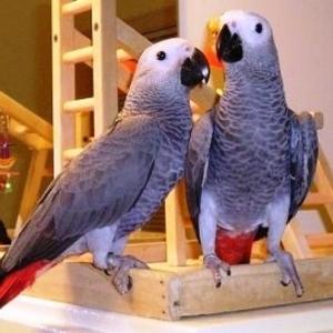 Африканский Серый попугай или краснохвостый Жако.