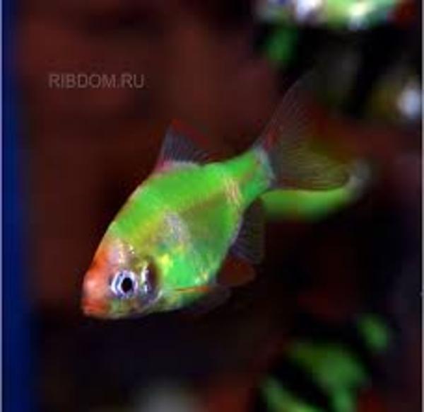рыбки с доставкой по Алматы 8