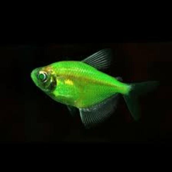 флуаресцентные светящиеся рыбки(каждая 10 бесплатно)