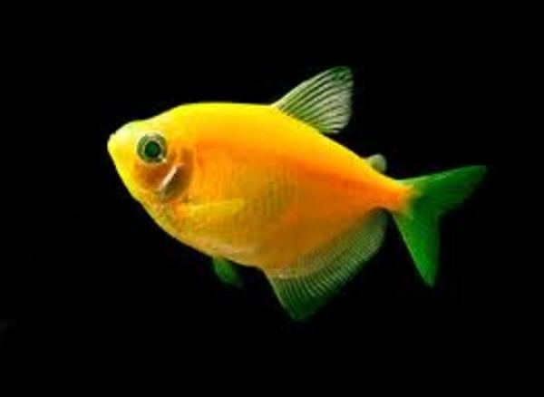 флуаресцентные светящиеся рыбки(каждая 10 бесплатно)  2