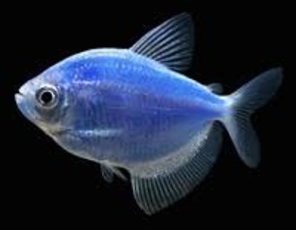 флуаресцентные светящиеся рыбки(каждая 10 бесплатно)  3
