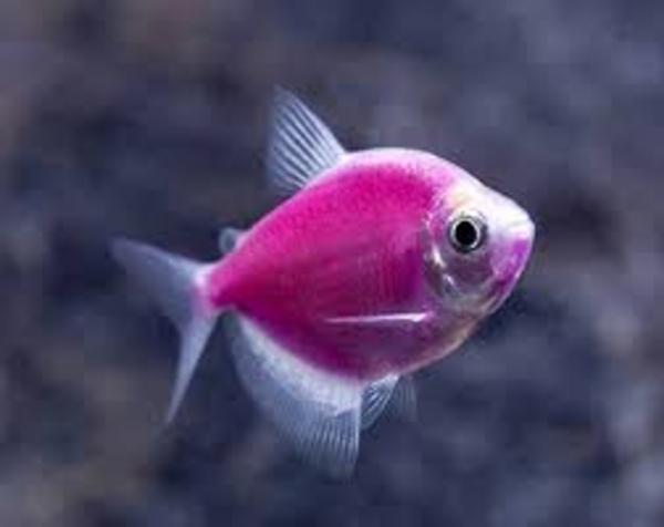флуаресцентные светящиеся рыбки(каждая 10 бесплатно)  4