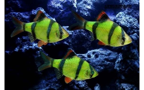 флуаресцентные светящиеся рыбки(каждая 10 бесплатно)  6