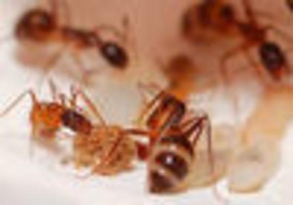 Борьба с муравьями и их уничтожение