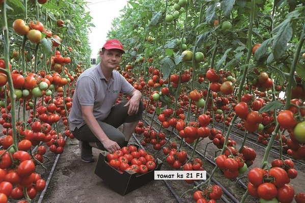 Семена томата KS 21 F1,  KITANO SEEDS