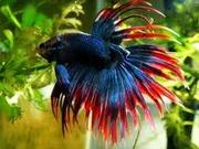 продажа аквариумных рыбок собственного разведения (КАЖДАЯ 10 РЫБКА БЕСПЛАТНО!)
